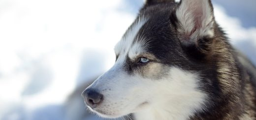 chien d'alaska dans la neige