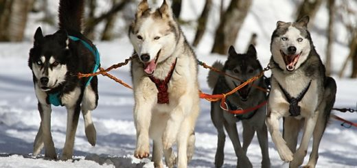 un attelage de chiens