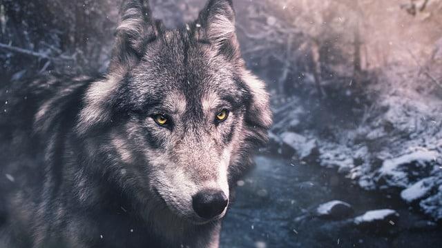 un magnifique chien husky