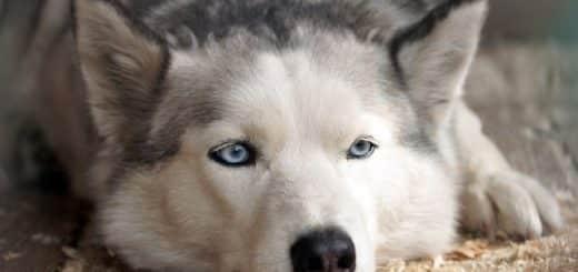 prendre soin d'un husky sibérien