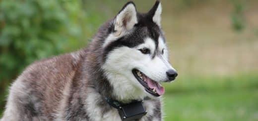 un husky avec plein de poils
