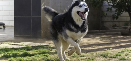 un grand husky qui court